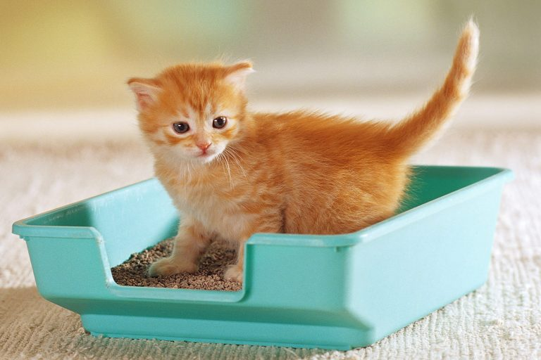 Cat Litter Boxes – How To Choose The Best Cat Litter Box For Your Home